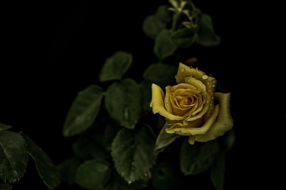 Roses, Yellow, Leaves, Dark, Flowers, Petals, Spring