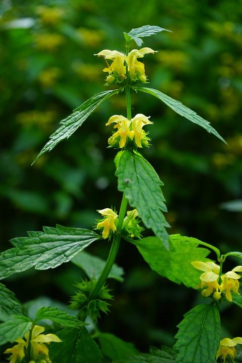 Dead Nettle, Flowers, Yellow, Ordinary Goldnessel