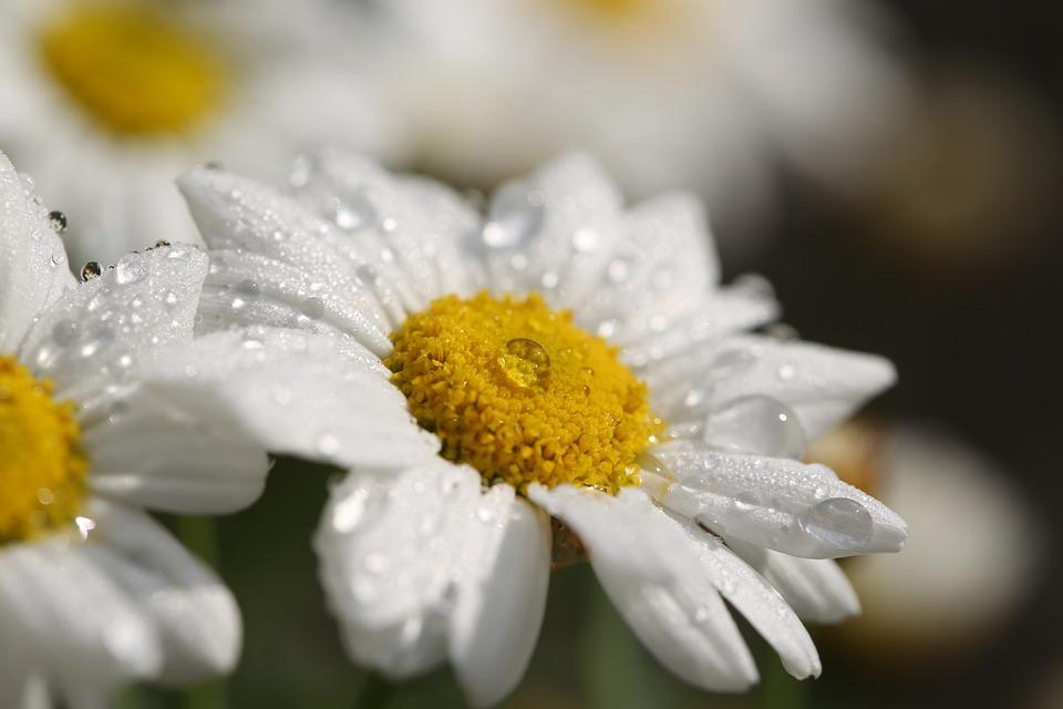 Flowers, Dew, Petals