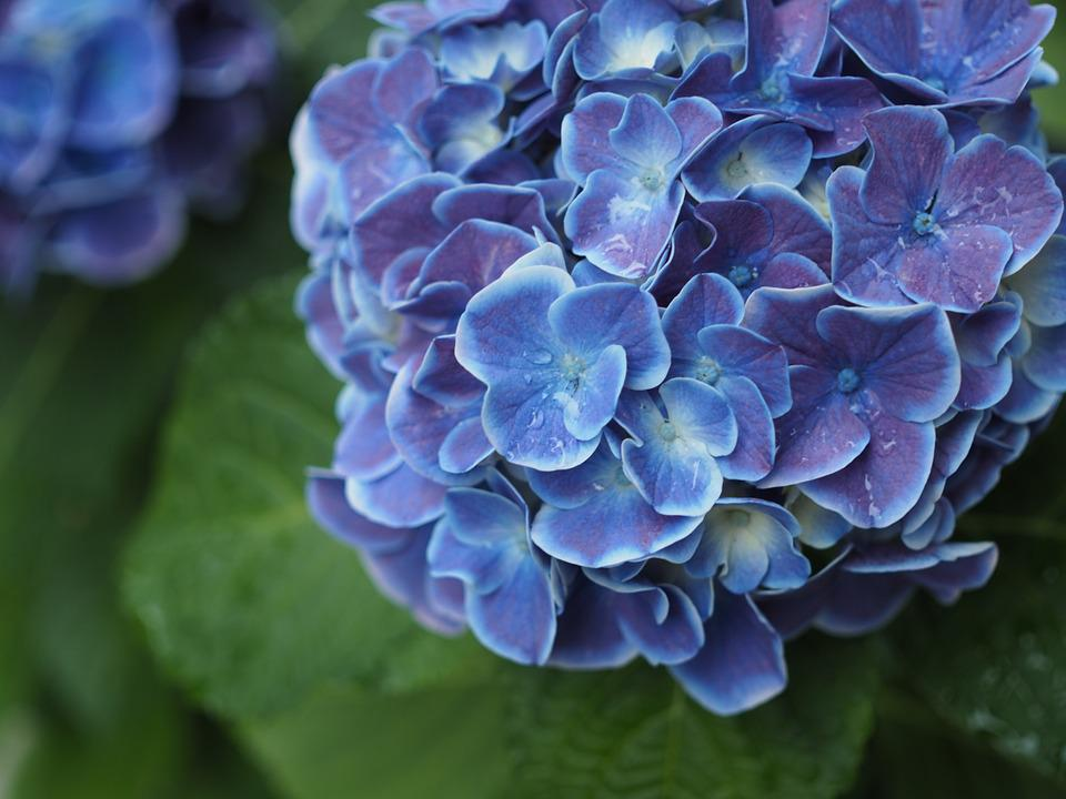Hydrangea, Drop Of Water, Rain, Rainy Season, Flowers