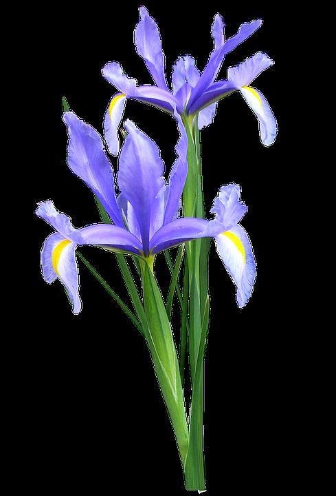 Iris, Dutch, Flowers