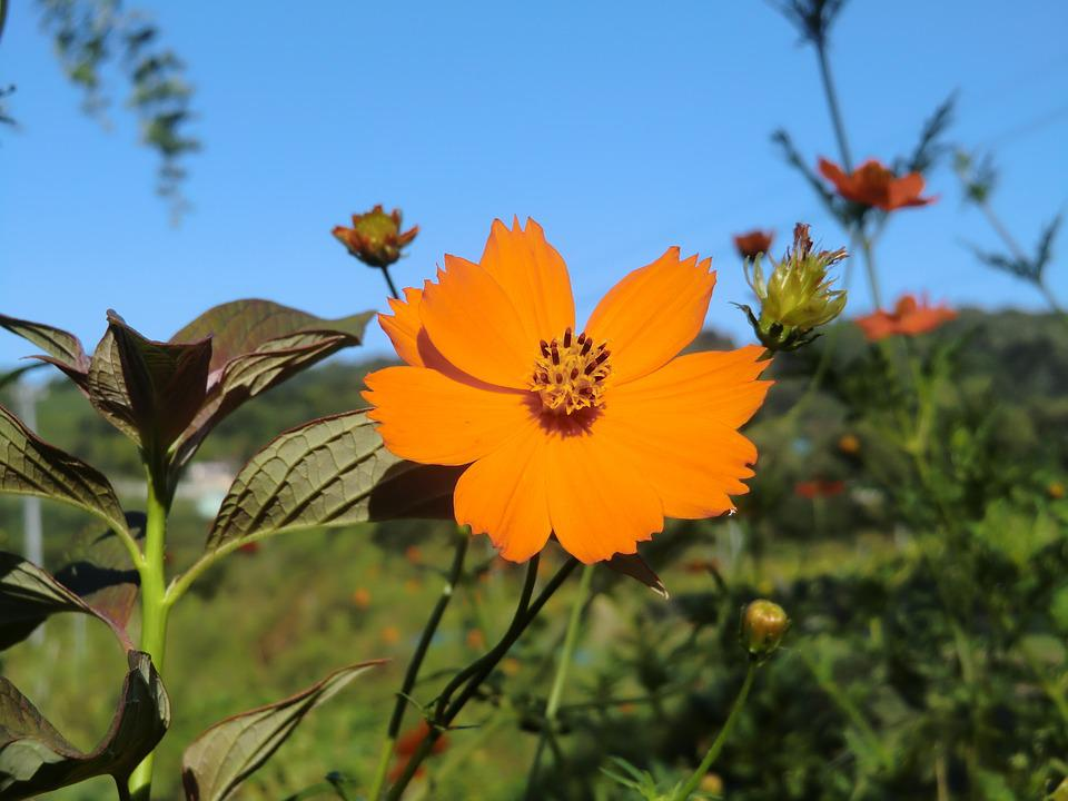 Blue Sky, Orange, Cosmos, Early Autumn, Flowers