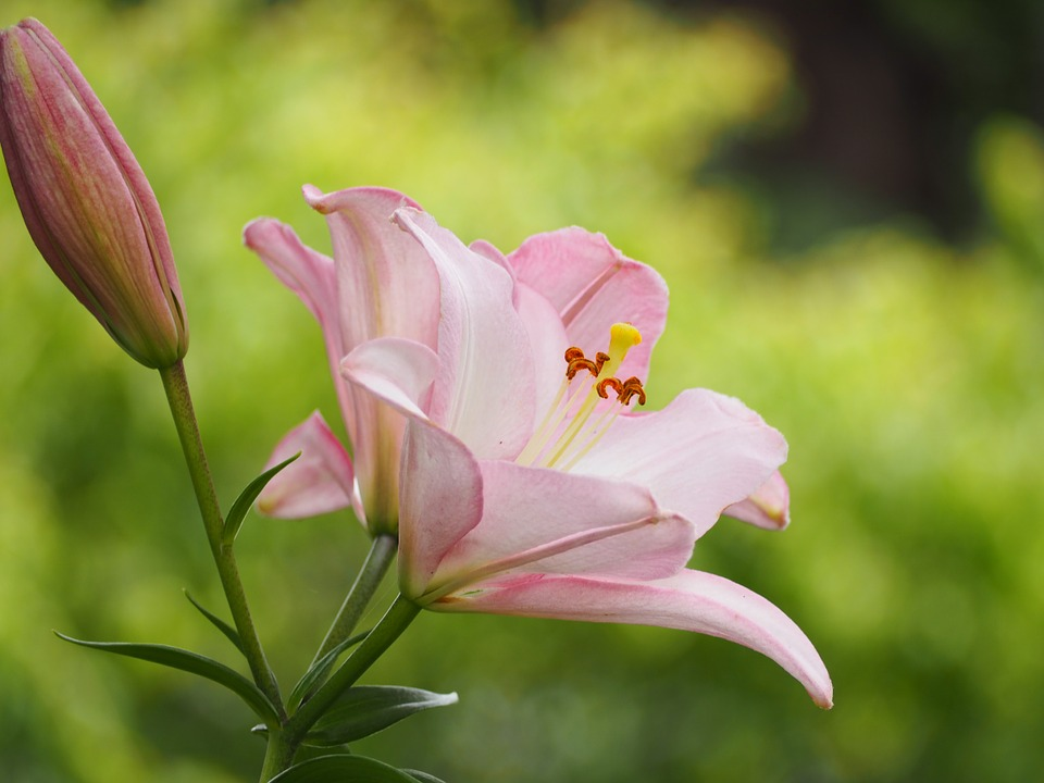 Lily, Flowers, Liliaceae, Early Summer Flowers, Pink