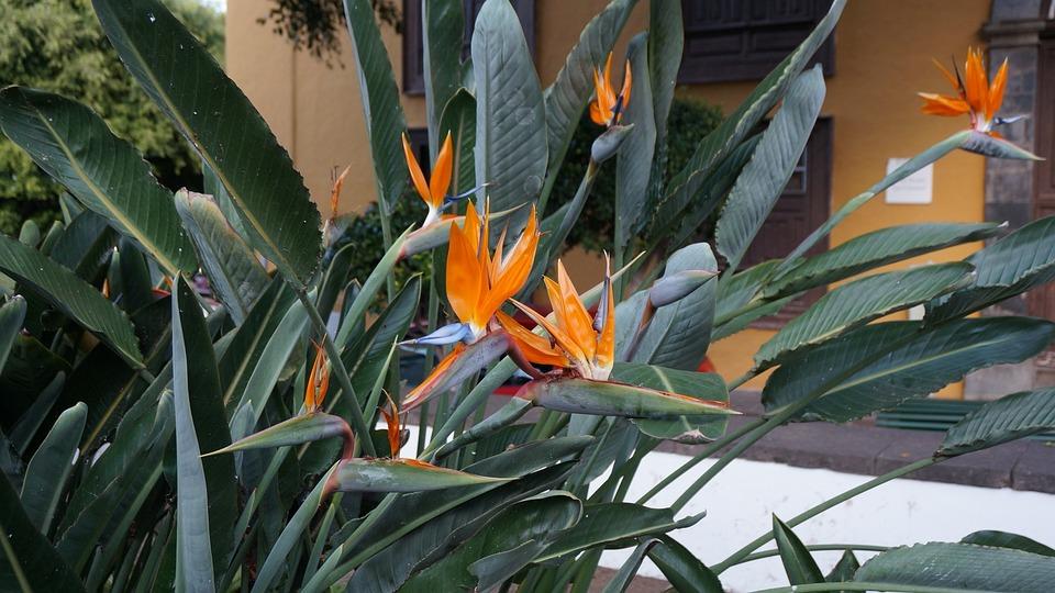 Flowers, Exotic, Tenerife, Strelitzia Reginae