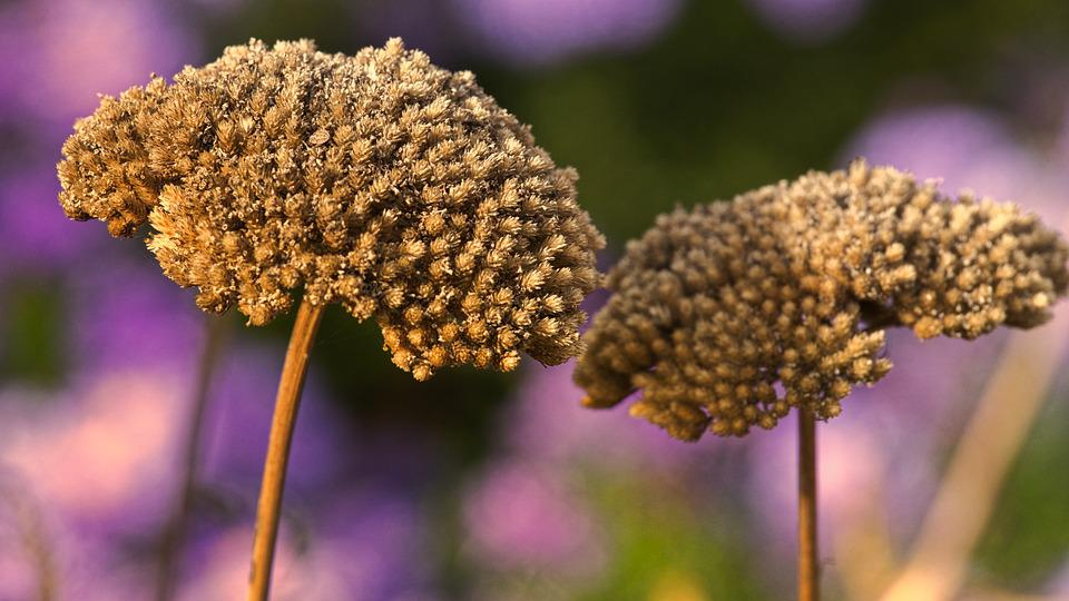 Flowers, Dry, Seeds, Close Up, Faded, Autumn