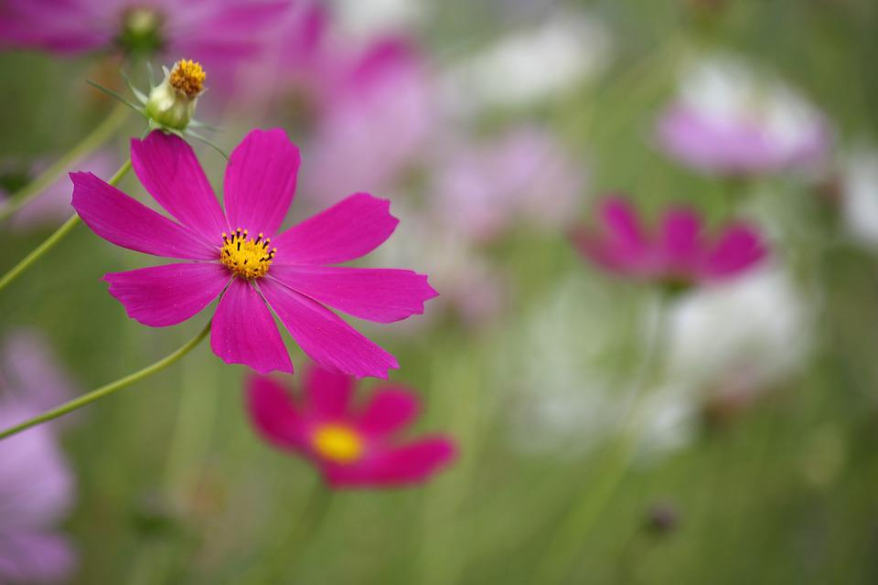Cosmos, Autumn, Fall, Flowers, Autumn Landscape