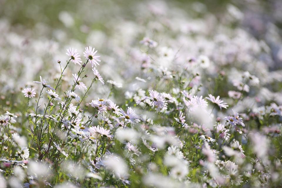 Gujeolcho, Fall, Fall Flowers, Chrysanthemum, Flowers