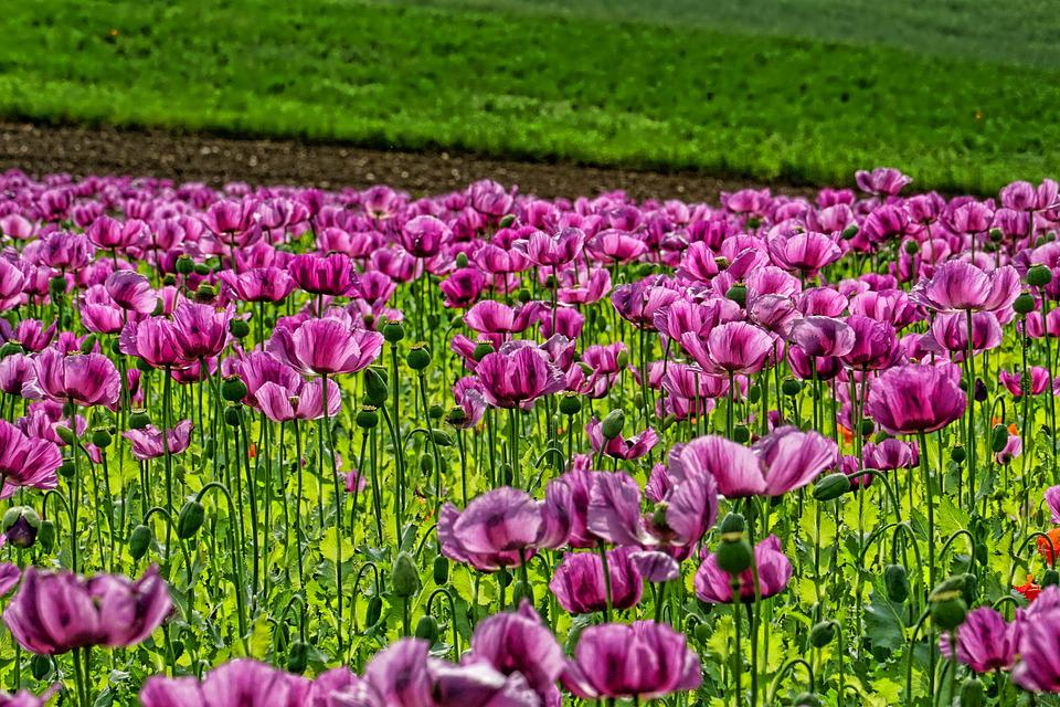 Field Of Poppies, Opium Poppy, Flowers, Purple