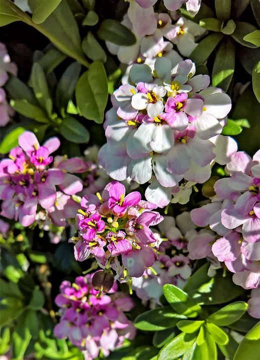 Flowers, Phlox, Flame Flower, Pink, White, Flower Shrub