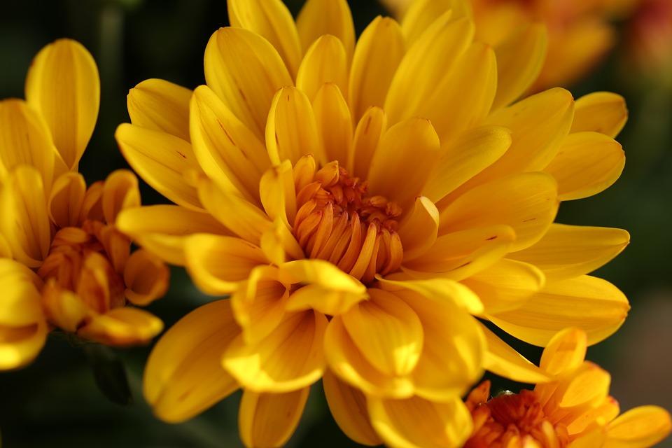 Chrysanthemum, Flowers, Flora, Autumn, Nature