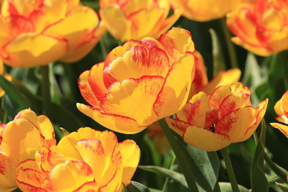 Tulip, Orange, Red, Yellow, Flowers, Nature, Flora