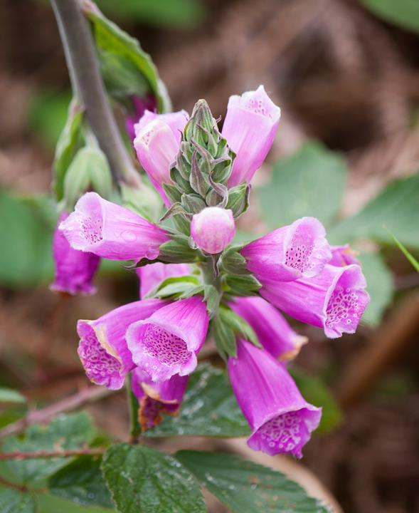 Foxglove, Flowers, Pink, Purple, Nature, Plant, Flora