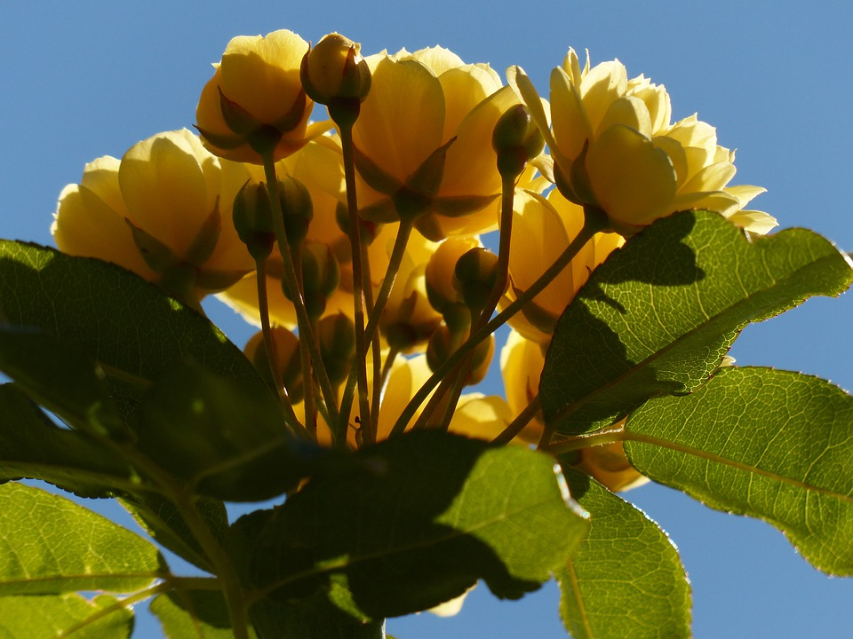 Roses, Flowers, Yellow, Flower, Flora