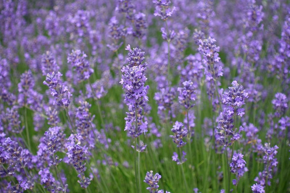 Lavender, Flowers, Lavender Field, Flora, Floral