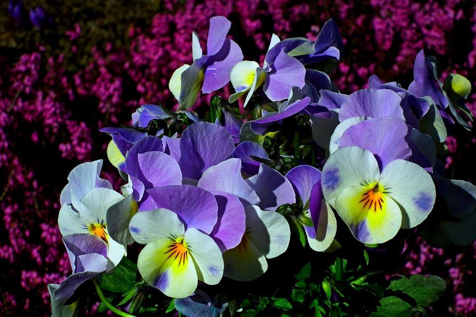 Pansies, Flowers, Spring, Nature, Flourishing