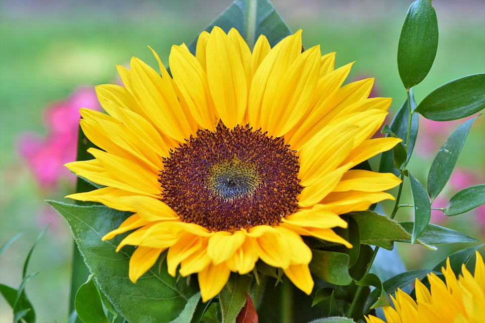 Sunflower, Flowers, Flower Bed, Flower Meadow, Petals