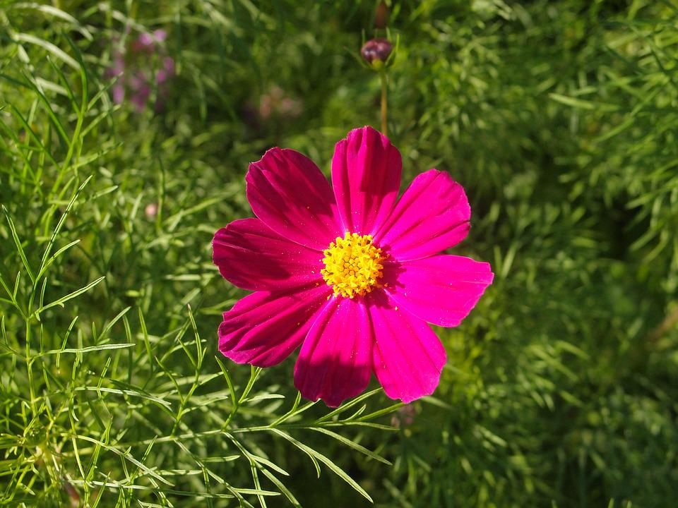 Summer, Flowers, Flower Bed, Cosmos, Purple