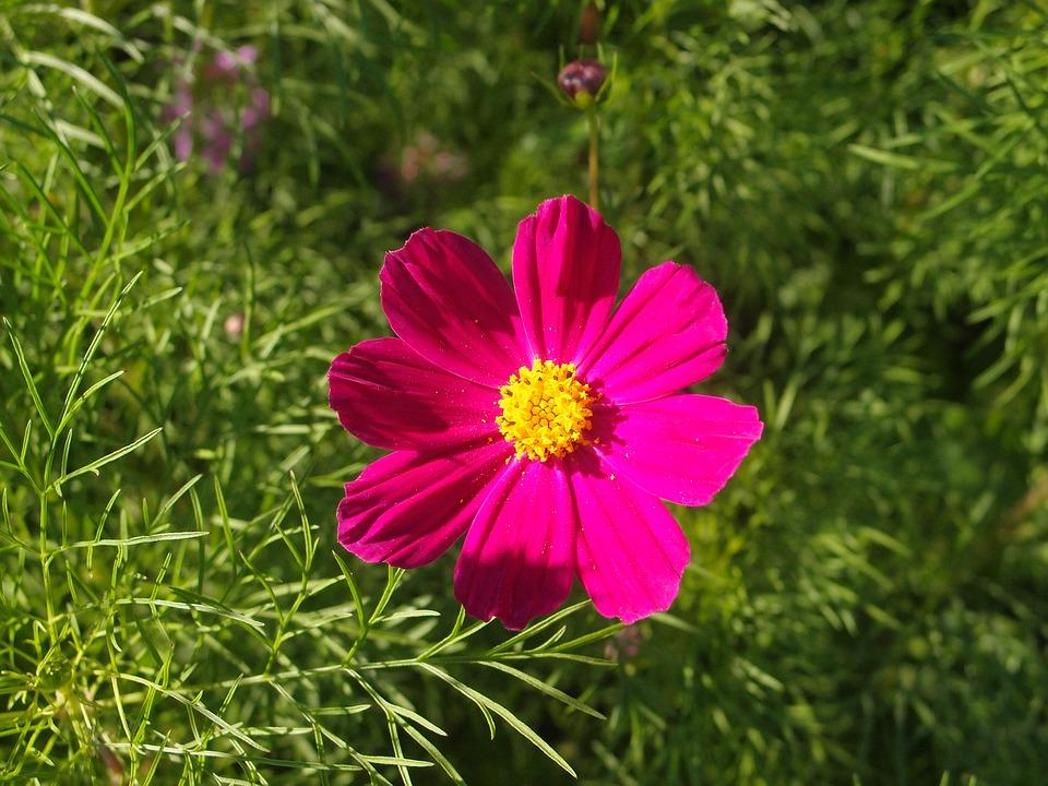 Summer, Flowers, Flower Bed, Cosmos, Purple