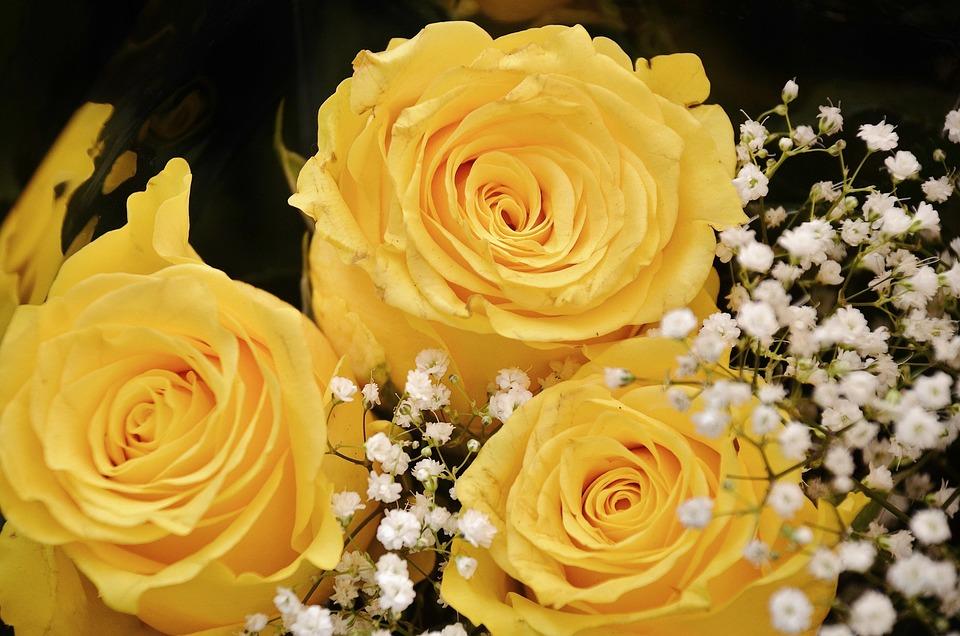 Roses, Flower, Blossom, Yellow, Flowers