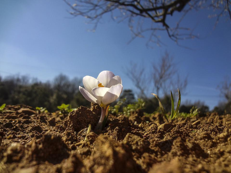 Crocus, Flower, Garden, Flowering, Flowers