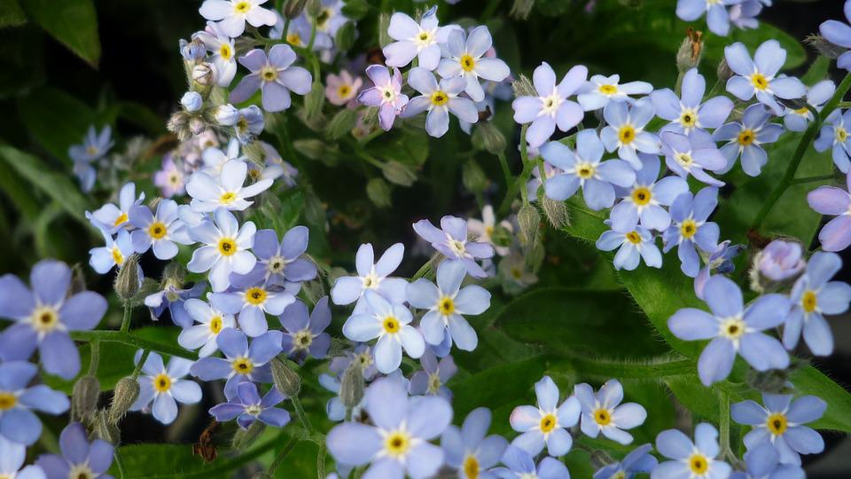 Flower, Forget Me Not, Flowers