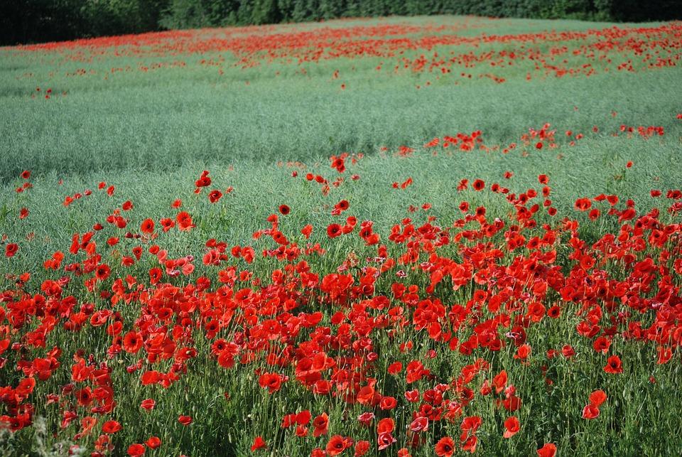 Mark, Poppies, Flowers, Poppy, Eng, Flower, Plant