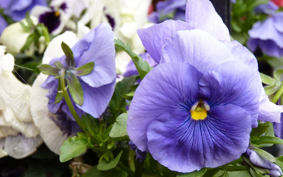 Pansy, Flower, Spring Flowers, Spring Flower, Flowers