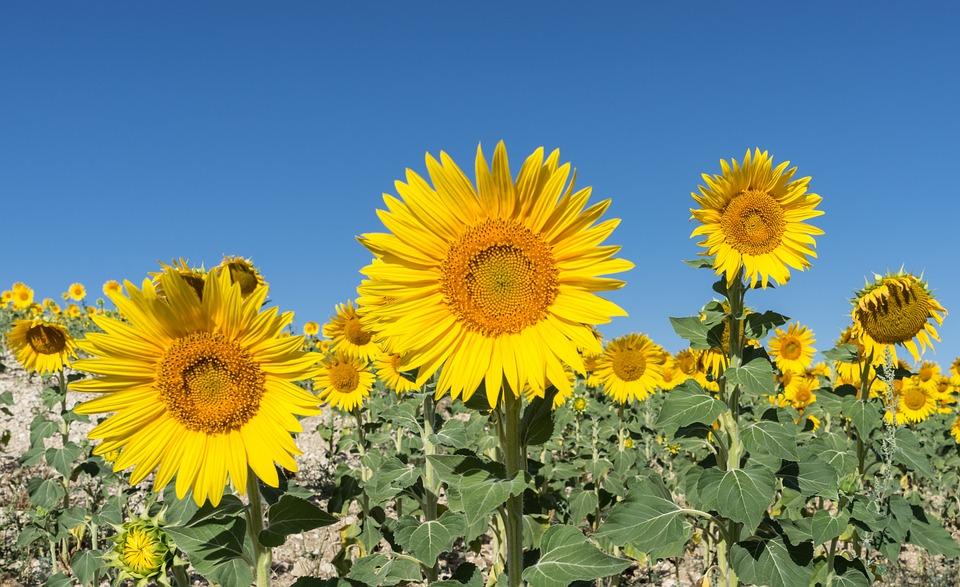 Sunflower, Flower, Field, Flowers, Nature, Yellow