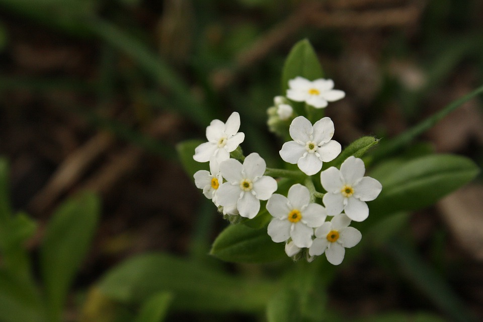 Flower, White, Small, White Flower, Flowers, Weed