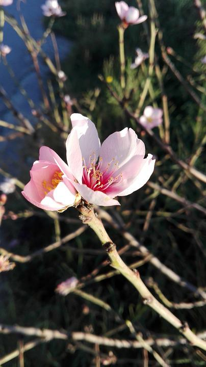 Flowers, Almond Tree, Spring, Almond Flower, Flowering