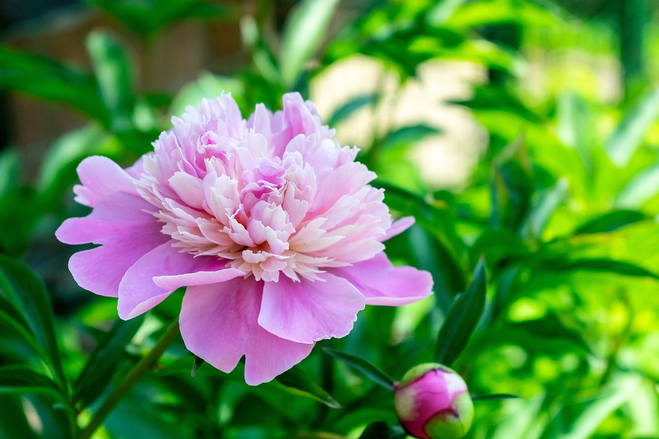 Flower, Flowers, Nature, Peony, Flowering, Plant