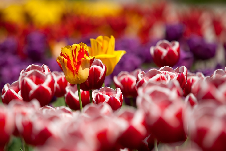 Flowers, Tulips, Field, Bloom, Blossom, Flowering Plant