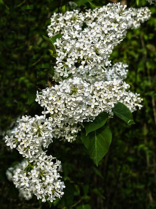Lilac, Flowers, Flowering Shrub, White Flowers