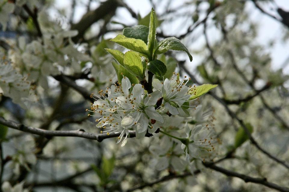 Plum Tree, Flowering Twig, Branch, Flowers