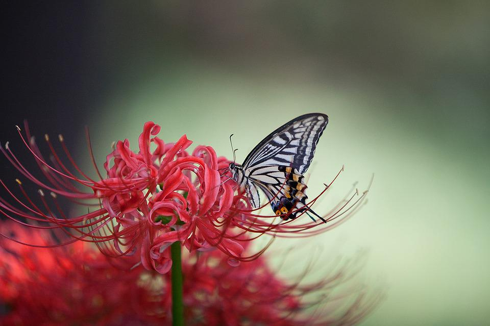 Swallowtail, Flowers For, Red Color, Butterfly, Flowers