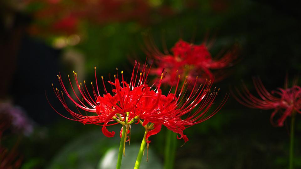 Flowers For, Xishan, Lycoris Squamigera, Red Flower