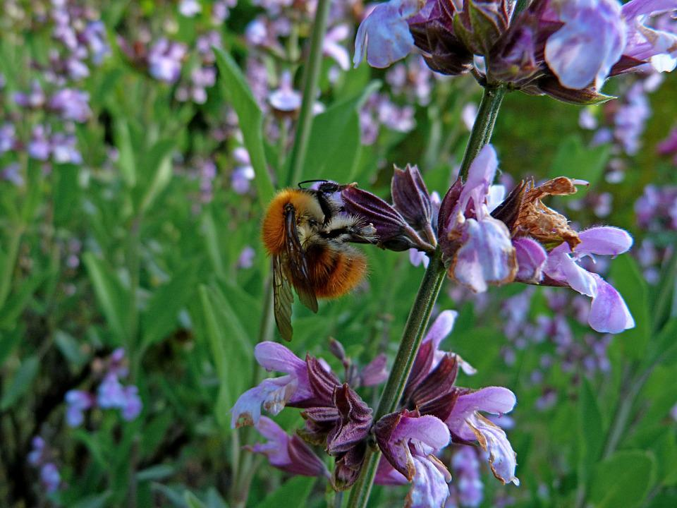 Insect, Macro, Lavender, Bee, Forage, Nature, Flowers