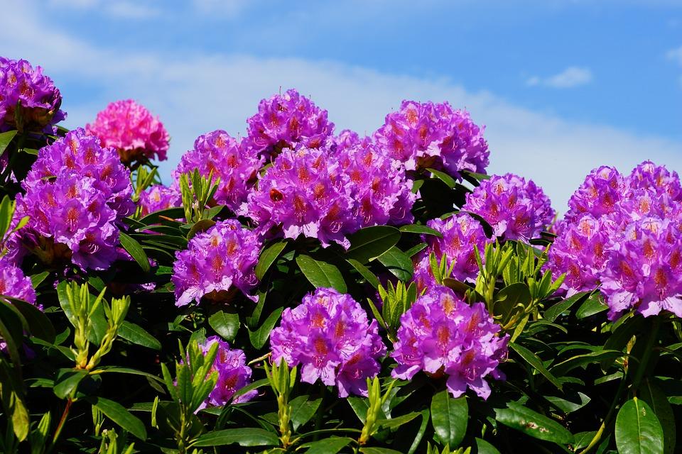 Flowers, Rhododendrons, Bush, Frühlingsanfang