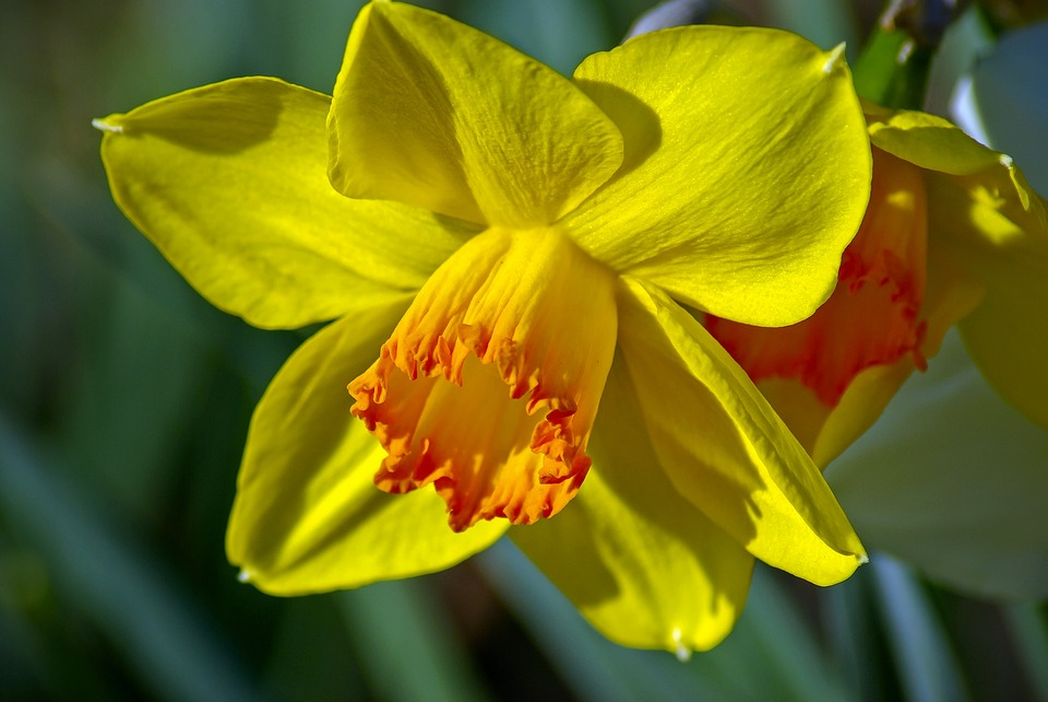 Arkansas Daffodil, Garden, Bloom, Plant, Flowers