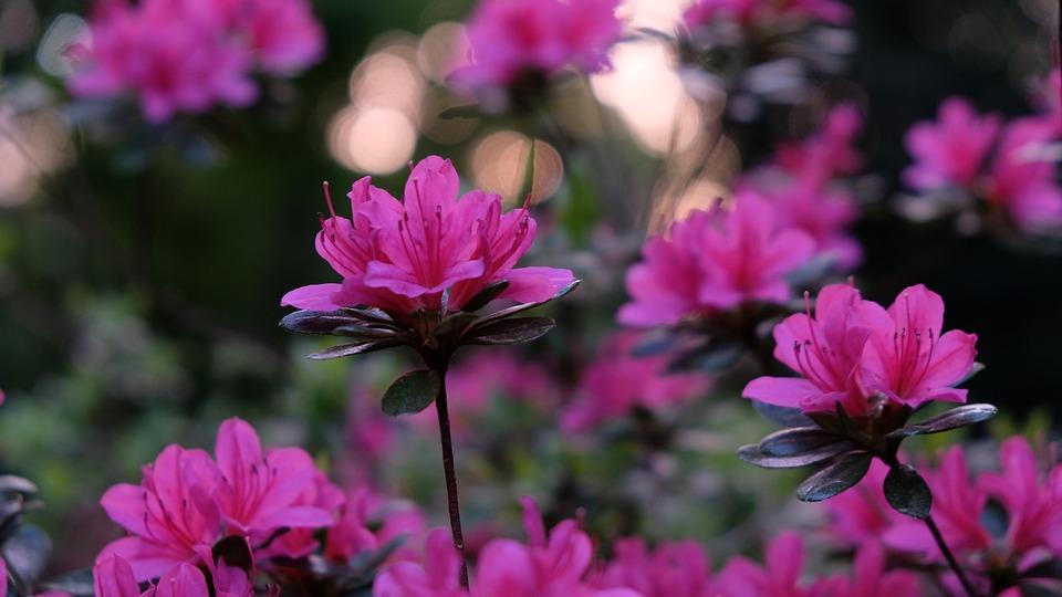 Flowers, Petals, Azalea, Bush, Garden, Flower Bed