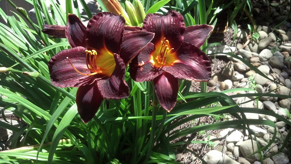 Lily, Red, Green, Nature, Bloom, Flowers, Garden