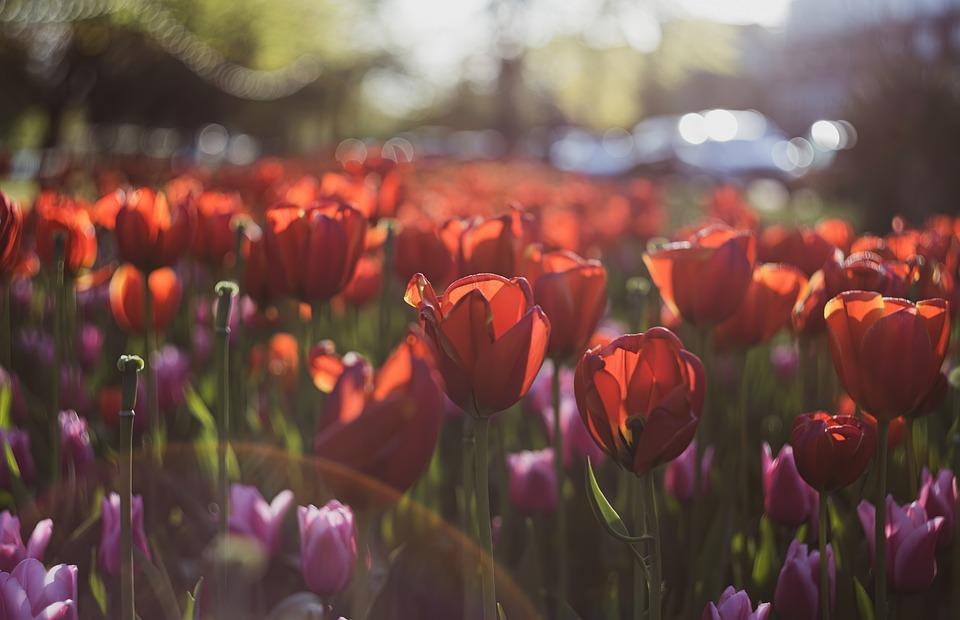 Tulips, Flowers, Garden, Red Tulips, Bloom, Plants