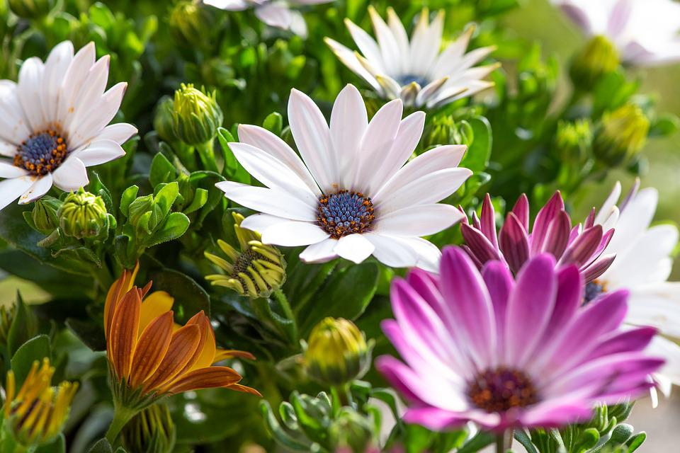 Cape Daisies, Flowers, Colorful, White, Garden