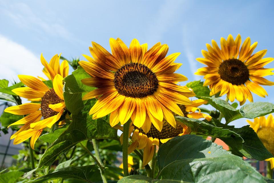 Sunflower, Daylight Saving Time, Flowers, Garden