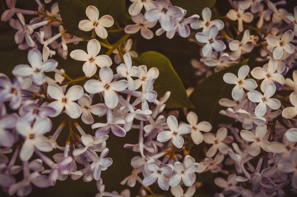 Flowers, Flowering Shrub, Garden, Garden Plants, Nature