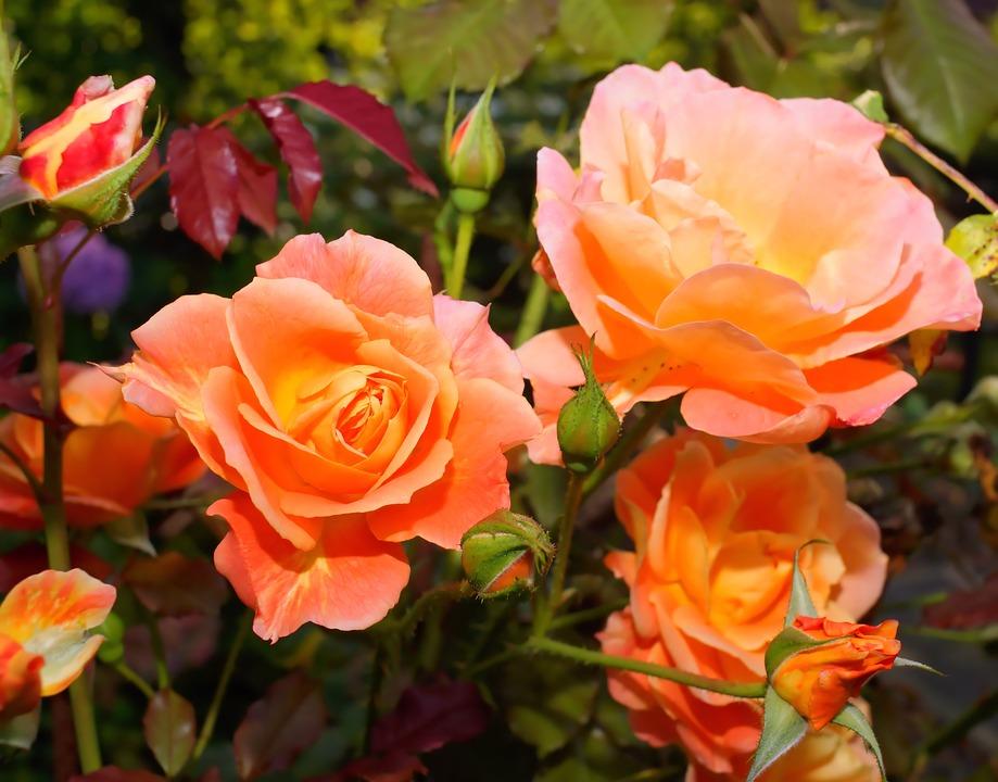 Flowers, Roses, Orange, Fragrance, Close, Garden, Sweet