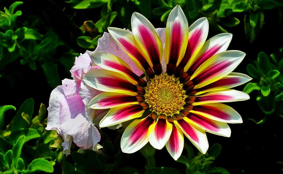Gazania, Flowers, Nature, Garden, Flower, Macro