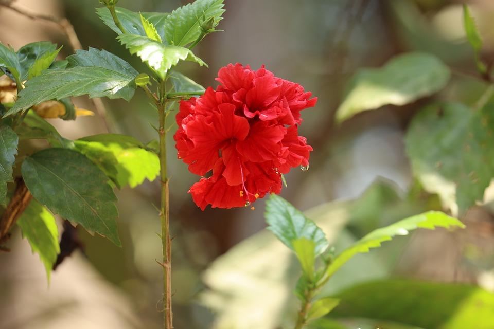 Hibicus, Kerala, Flowers, Summer, Plant, Garden, Pink
