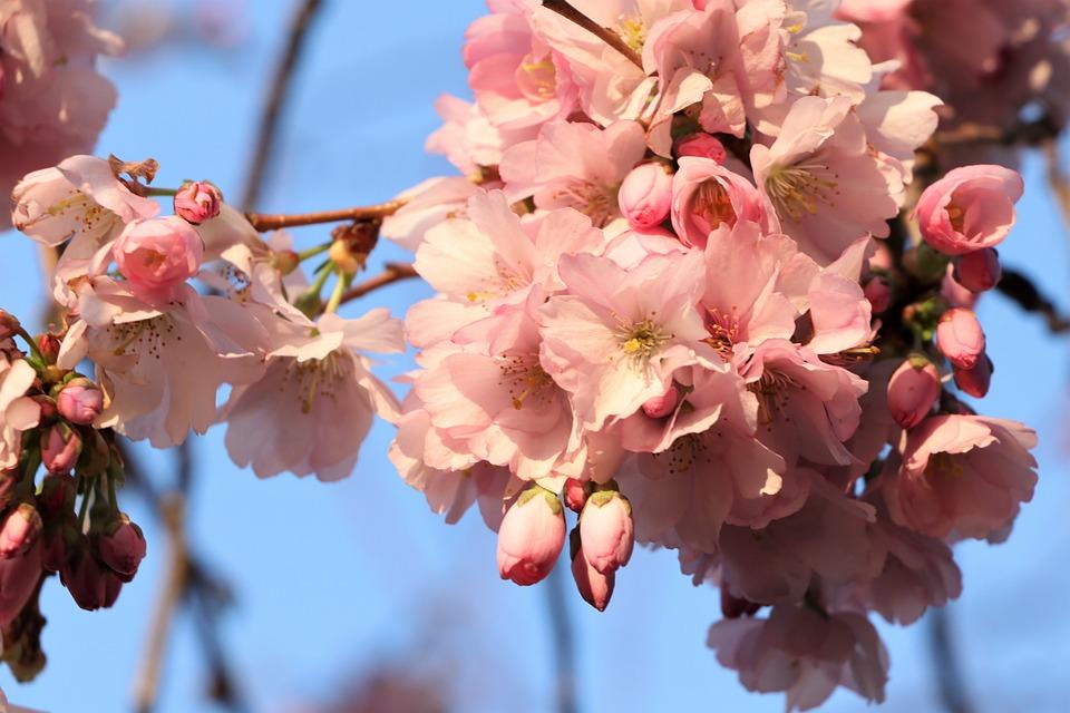 Flowers, Bloom, Spring, Flora, Nature, Garden, Pink