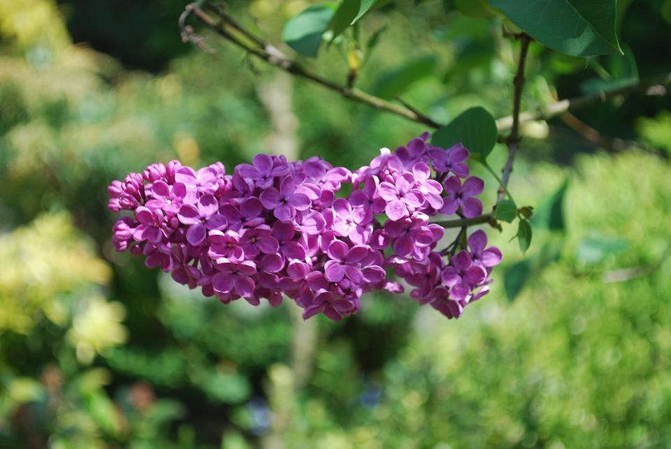 Lilac, Garden, Flowers, Plant, Nature, Bloom, Violet